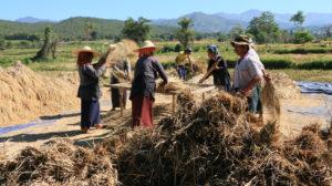 harvesting-rice